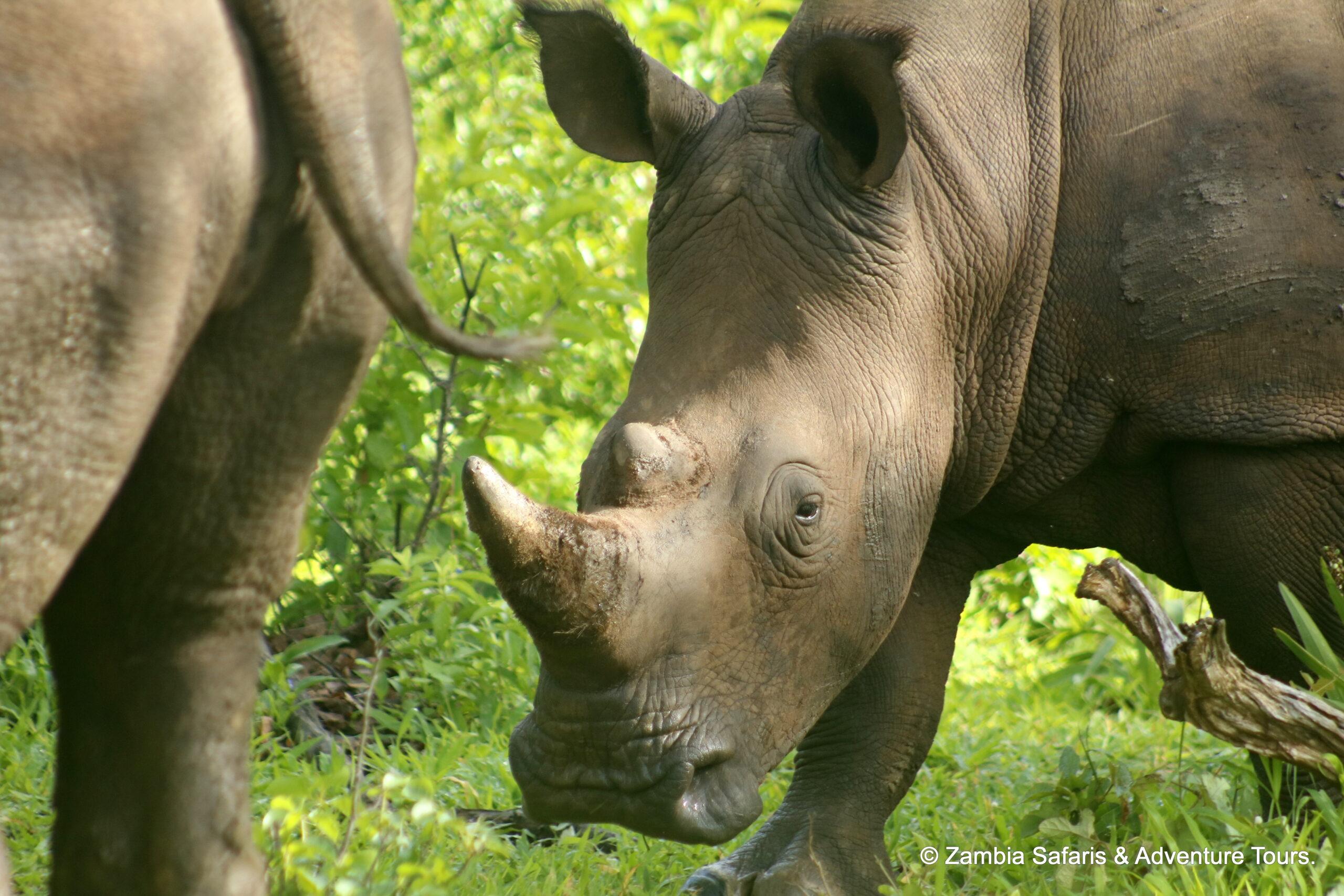 White Rhino cow with calf