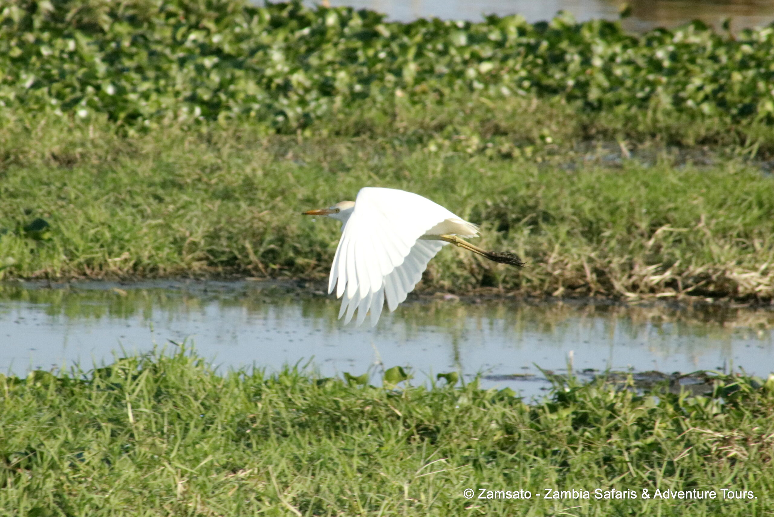 Birding by the ponds in Livingstone: Cattle Egret