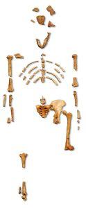 Reconstructie skelet lucy foto 120