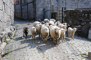 English: Sheeps in Campos, Vieira do Minho, Po...