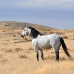 White Horse With Black Mane Grazing On Dry Grass Wallpapers And Images Wallpapers Pictures Photos