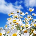 Daisies, flowers, sky and clouds