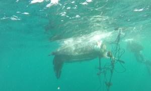 #ZayActu : Sauvetage d'une tortue Luth prise dans les cordages d'un casier à l'Ilet Chevalier | ZayRadio.org