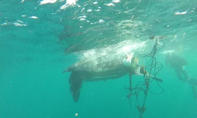 #ZayActu : Sauvetage d'une tortue Luth prise dans les cordages d'un casier à l'Ilet Chevalier   ZayRadio.org