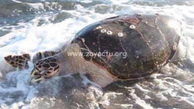 Photo of After yoles : Une tortue imbriquée et une jeune tortue verte percutées par des embarcations