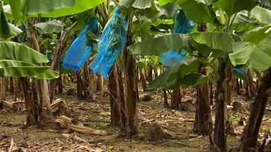 """Photo of """"Stop à l'empoisonnement des habitants de Martinique et de Guadeloupe"""". La pétition contre la Chlordécone"""