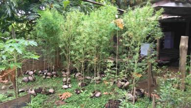 Photo of Sainte-Marie : 40 pieds de cannabis découverts chez un particulier