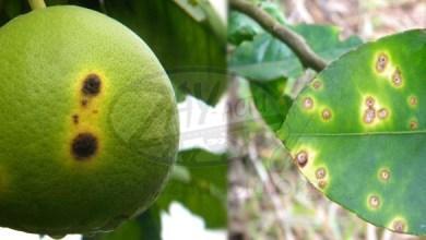 Photo of Les agrumes de Martinique menacés par le chancre citrique
