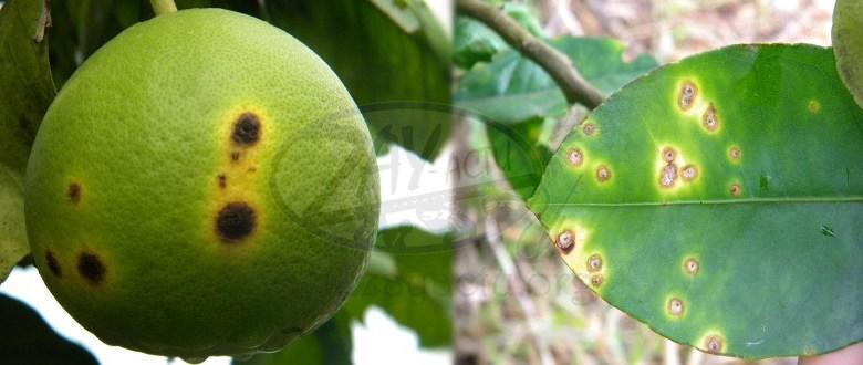 Les agrumes de Martinique menacés par le chancre citrique