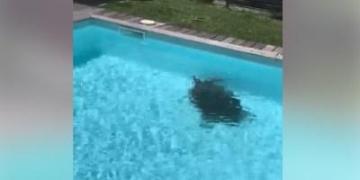 Une tortue s'égare et termine dans une piscine au Diamant (Vidéo)