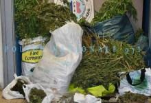 Photo de 325 plants de cannabis découverts dans une maison à Balata à Fort-de-France