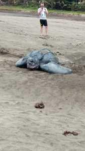 Martinique : Une tortue luth ponds ses œufs sur la plage du Tombolo - Vidéo 3