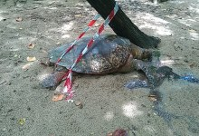 Photo of Martinique : plusieurs tortues tuées ces derniers jours sur la commune de Sainte-Anne