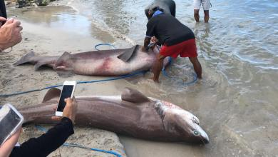 Photo of Deux énormes requins pêchés ce dimanche matin au large de Sainte-Anne
