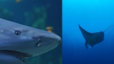 """Photo of La liste des espèces en """"danger d'extinction"""" et en """"danger critique d'extinction"""" évolue chez les requins et les raies"""