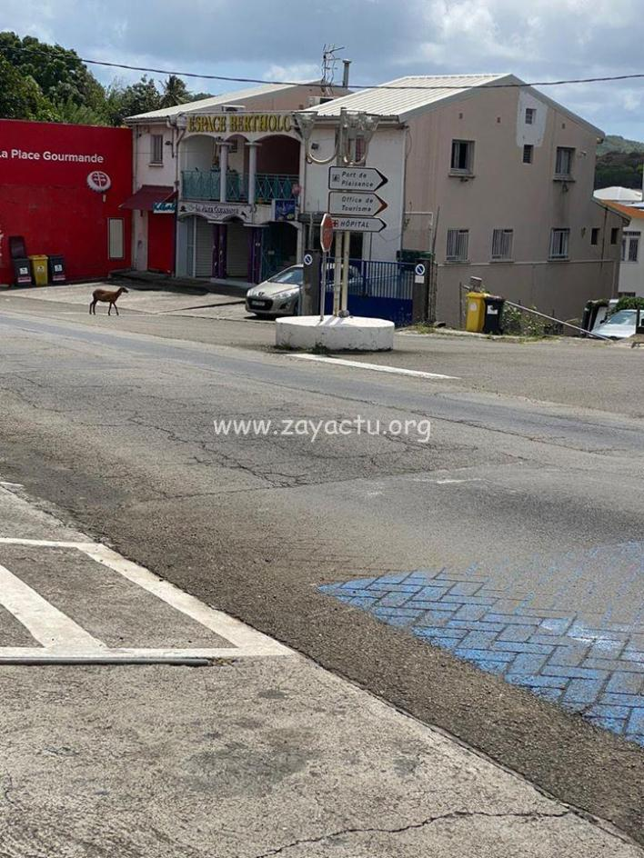 Un mouton en promenade au Marin.
