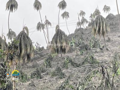 Arbre à Saint-Vincent lors de l'éruption de la Soufrière