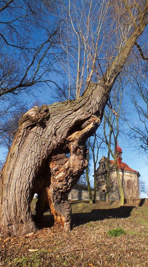 Památný strom Sinutec Zázračné České středohoří