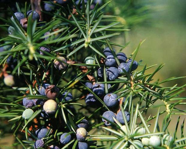 Juniperus-communis-com-1