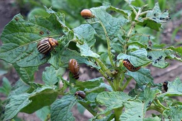народные средства от колорадского жука на картошке