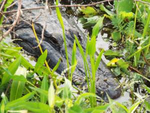 Alligator lnp