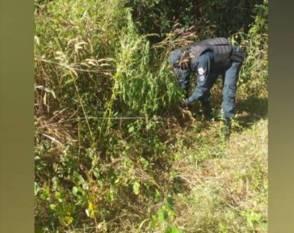 Conceição do Araguaia: PM descobre e destrói plantação de maconha