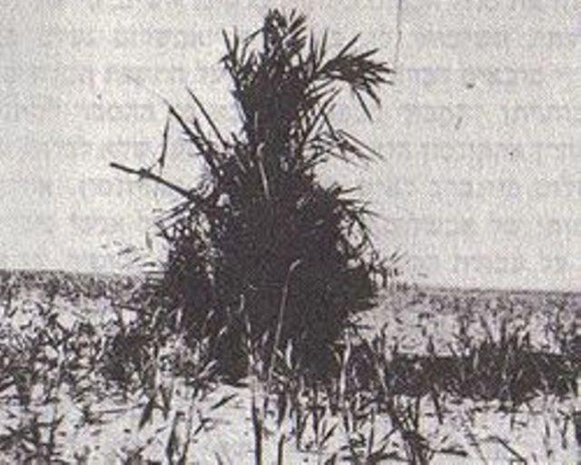 הדקל שצמח על קברו של אבשלום פינברג כפי שצולם בידי מהנדס בנימין רון ב-1931