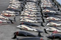 1024px-Whaling_in_the_Faroe_Islands-foto-wikimedia-use-creative-commons