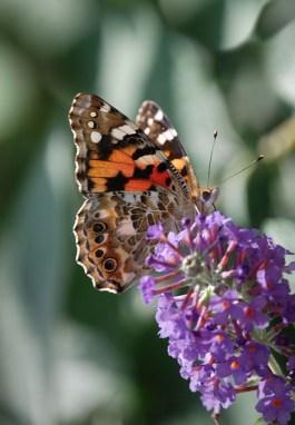 butterfly-372321_640