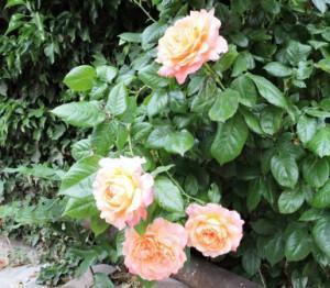 Rose Apricot, Zeltnerhof
