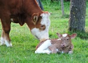 Zeltnerhof, Kälbchen geboren, Urlaub auf dem Bauernhof, Zeltnerhof