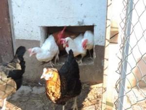 Hühner Stau