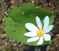 blackroot flower