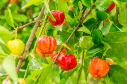 acerola tree and fruit for natural antioxidants