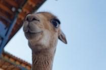 Llama in Cusco, Peru!