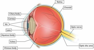 eye-ball-anatomy