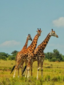 Three Giraffes at Murchison Falls National Park