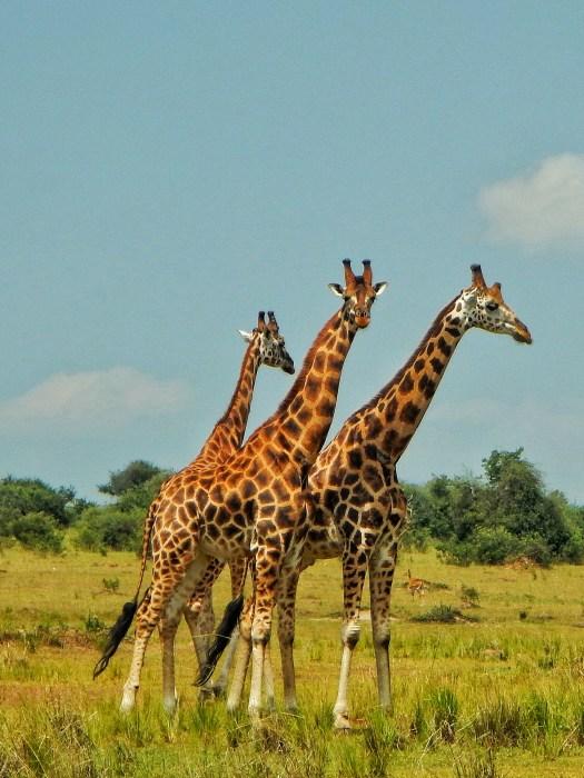 Three Giraffes at Murchison Falls National Park