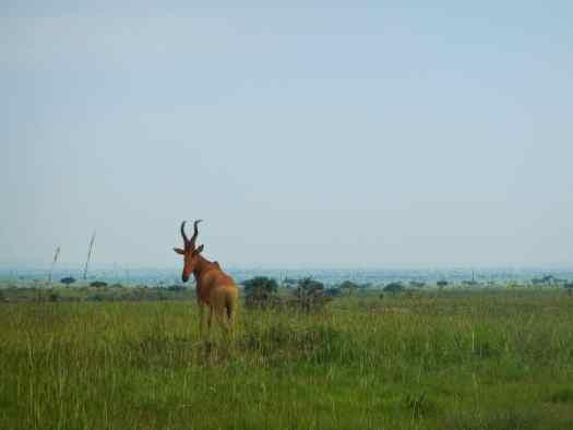 Jackson's Hartebeest at Murchison Falls