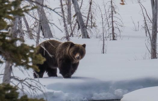 Grizzly Bear in Kananaskis