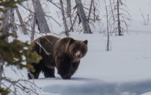 A grizzly bear in Kananaskis