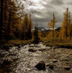 Stream and Larches, Happy Larch Viewing!