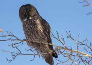 A Great Gray Owl near Water Valley, AB. Once again, with the Teleconverter