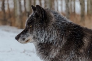 The alpha of the High Content Wolfdog group