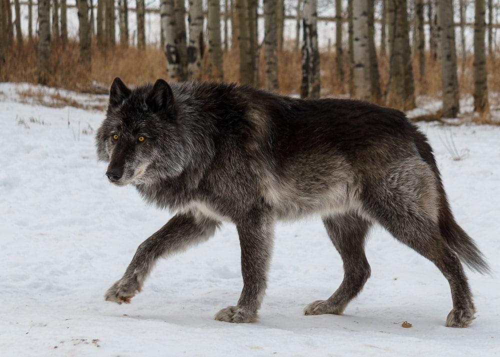Wolf Like Dog Names