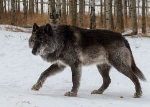 Another photo of our wolfdog alpha