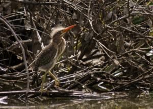 Baby Green Heron at the Humacao Nature Preserve