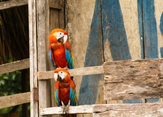 Scarlet Macaws outside a village in the Amazon
