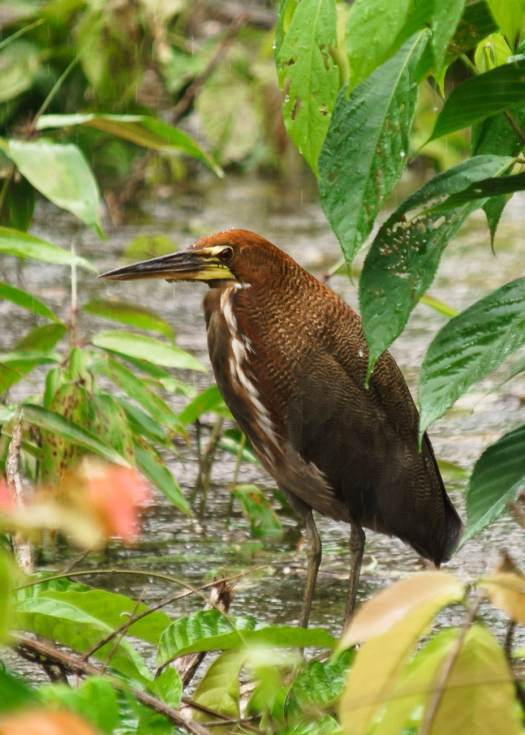 A Tiger Heron in Ecuador's Amazon