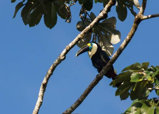 Channel-billed Toucan